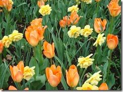 Tulips 2012 053