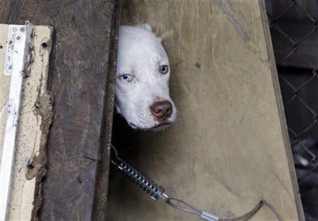 A stray dog in Detroit. Thousands of stray dogs are believed to live among the more than 30,000 vacant houses and abandoned buildings that dot Detroit's 139 square miles, said Tom McPhee, a filmmaker and executive director of the Ann Arbor-based World Animal Awareness Society. Photo: AP