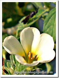 Turnera subulata_Bunga Pukul Delapan_White Alder 1