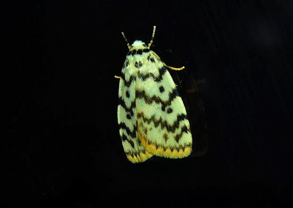 Arctiidae : Lithosiinae : Hectobrocha pentacyma MEYRICK, 1886. Umina Beach (New South Wales, Australie), 30 mars 2011. Photo : Barbara Kedzierski