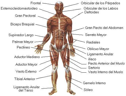 Dibujo del sistema muscular para colorear - Imagui
