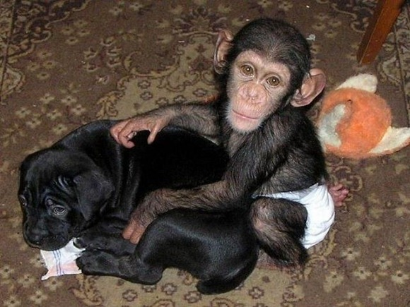 Chimpanzee Adopted By a Mastiff 018
