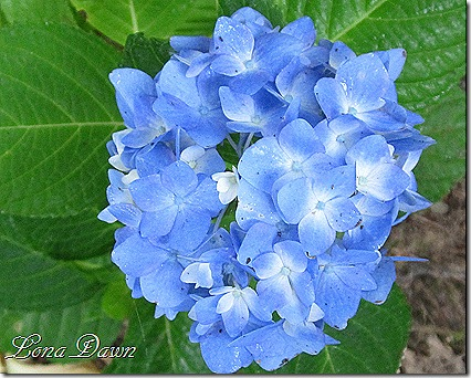 Hydrangea_Blue_Parfait