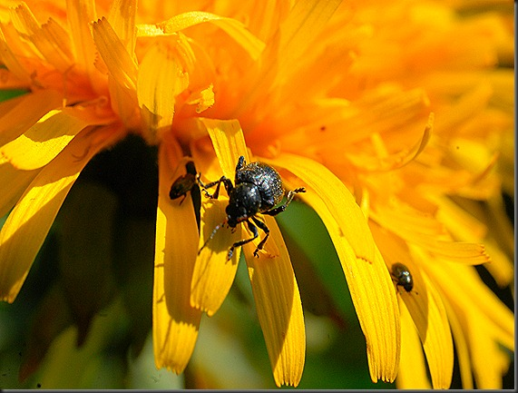 iltapäivä rakasteleva kukkakärpänen 056