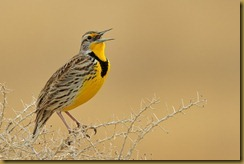 - Western Meadowlark Singing_ROT7804 February 18, 2012 NIKON D3S