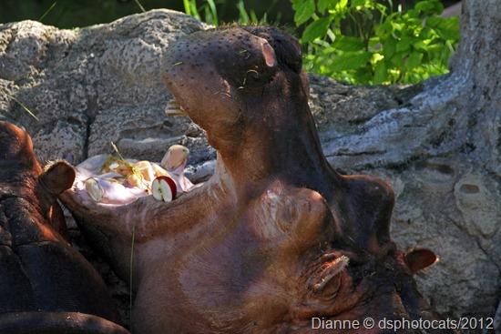 IMG_8928_ Hippo Podamus