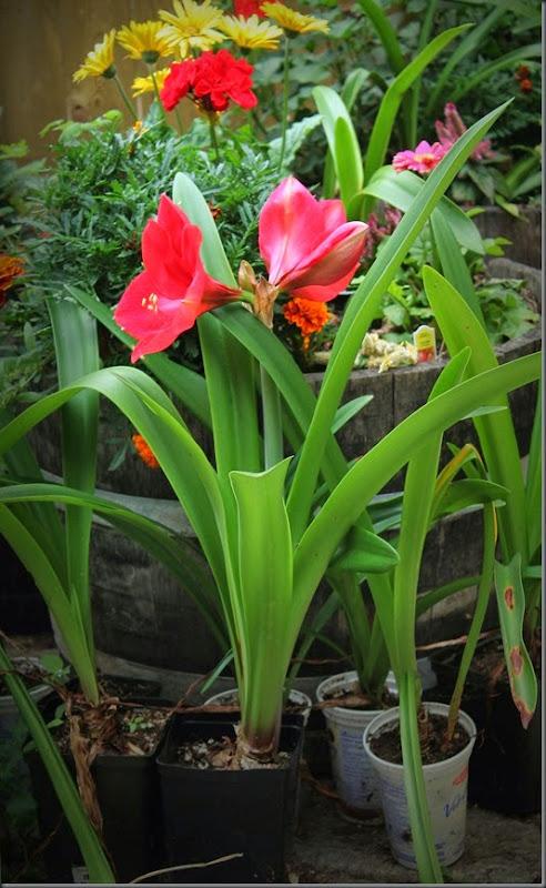 Garden Amaryllis