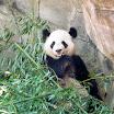 Pandas - Zoo Atlanta GA