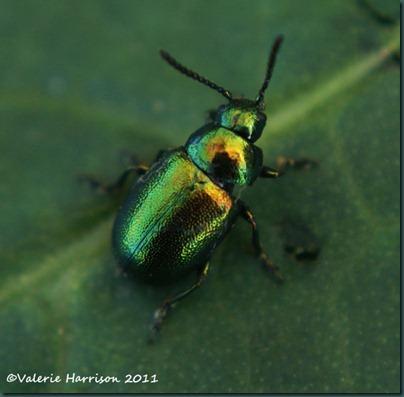 green-dock-beetle-Gastrophysa-viridula