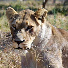 Lioness by Carlien Oberholzer - Novices Only Wildlife