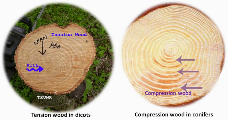 Compression wood and tension wood