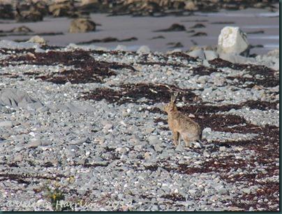 46-hare