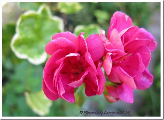 08-06-geraniums