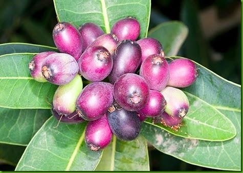 Syzygium cordatum 2