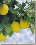 limonero11