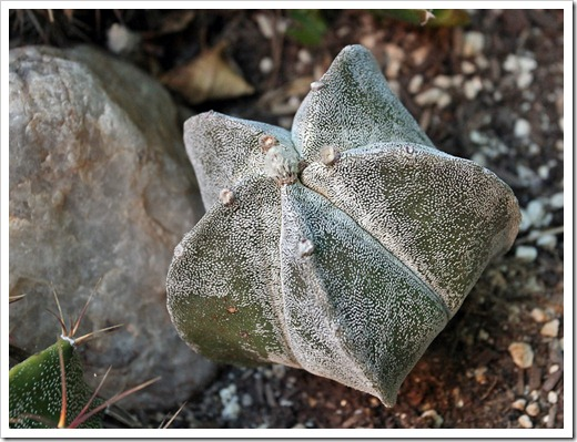 120608_Astrophytum-myriostigma_05