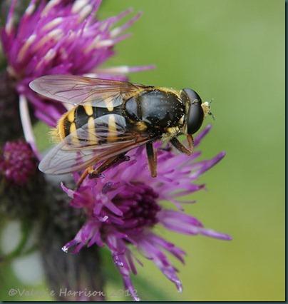 43-Hoverfly-Sericomyia-silentis