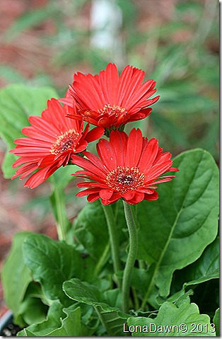 Gerber_Daisy_Red