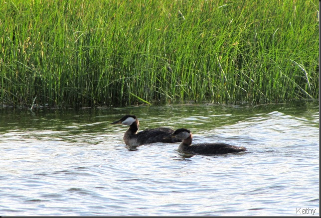 Pair of Red-neck Grebes