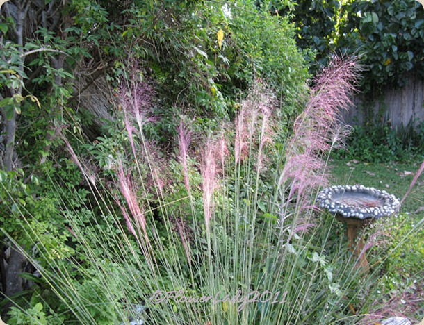10-22-pink-muhly-grass3