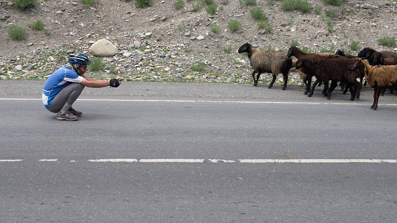 Biciclist impotriva turmei de oi.