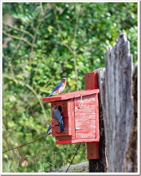 Bluebirds-1-7