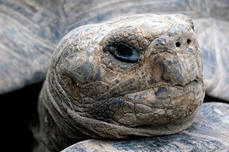 Nahaufnahme Riesenschildkröte, Galapagos