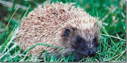 hedgehog prickles