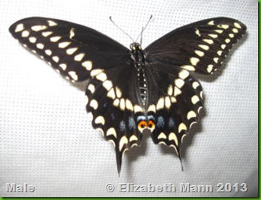 Male Black Swallowtail
