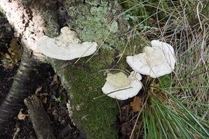 Pseudotrametes gibbosa