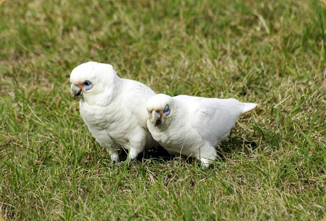 Just good friends!  Corellas looking for trouble