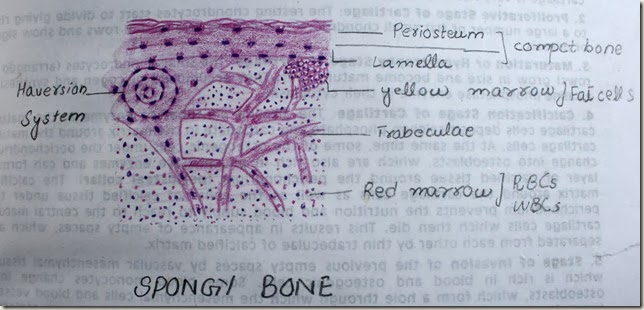 spongy bone high resolution histology diagram