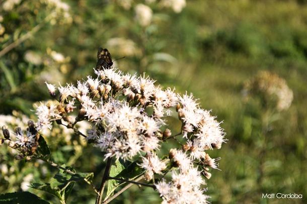 Allegria borboleta bonita