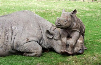 rhinoceros-with-baby