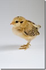 ChicksApr29-9053