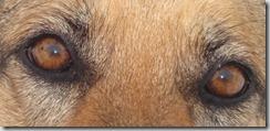 occhi cane anziano