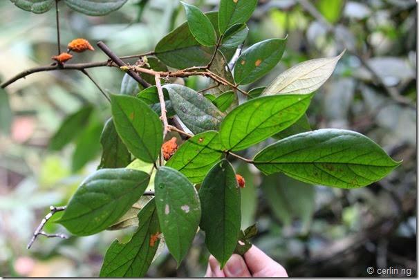 agelaea borneensis (2)