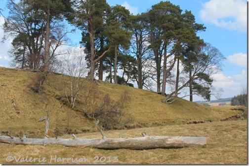 35-pine-trees