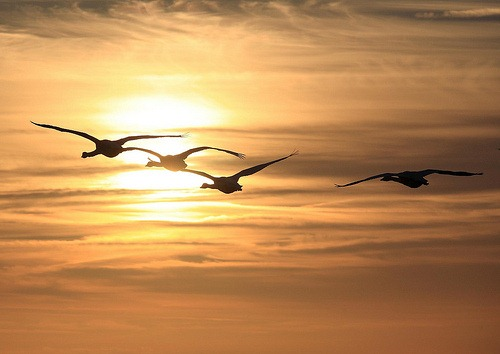 Whooper Swans by nickpix2009, on Flickr [Creative Commons]