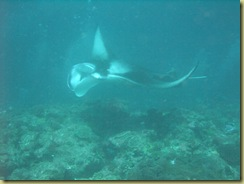 Manta passing by