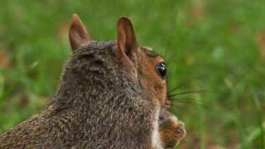 squirrel-ears_304913