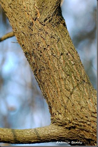 9 malaleuca ericifolia  DSC_8142x1