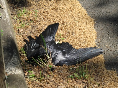 dead raven