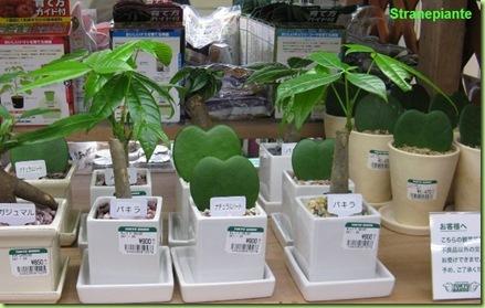 Pianta hoya carnosa e hoya diffuse in coltivazione l - Ikea soprammobili ...