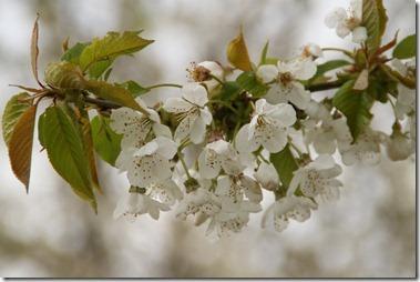 花(merisier,Prunus avium),せいようみざくら (西洋実桜)