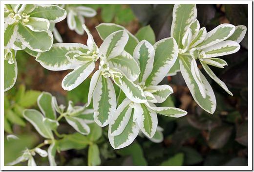 120717_Euphorbia-marginata09