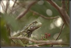 LL - iguana