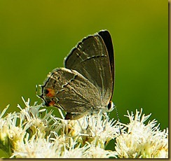 untitled Gray Hairstreak-MSB_1521 September 10, 2011 NIKON D300S