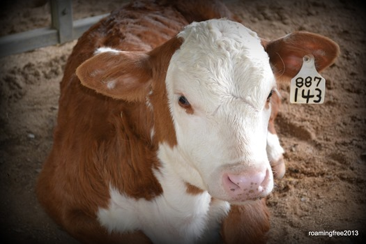 Baby Hereford