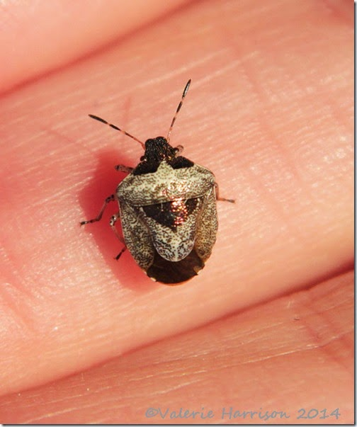 Woundwort-shieldbug